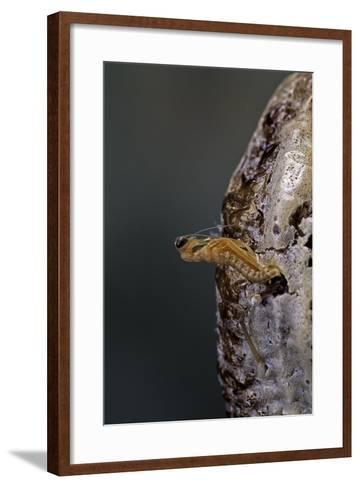 Mantis Religiosa (Praying Mantis) - Hatching-Paul Starosta-Framed Art Print