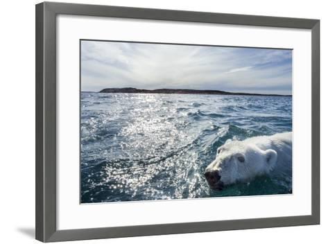 Polar Bear Swimming by Harbour Islands, Nunavut, Canada-Paul Souders-Framed Art Print