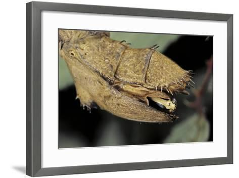Extatosoma Tiaratum (Giant Prickly Stick Insect) - before the Egg Ejectment-Paul Starosta-Framed Art Print