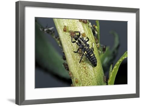 Adalia Bipunctata (Twospotted Lady Beetle) - Larva Devouring Aphids-Paul Starosta-Framed Art Print