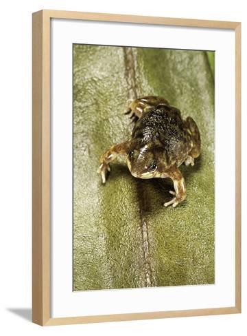 Hemisus Marmoratus (Shovel-Nosed Frog)-Paul Starosta-Framed Art Print