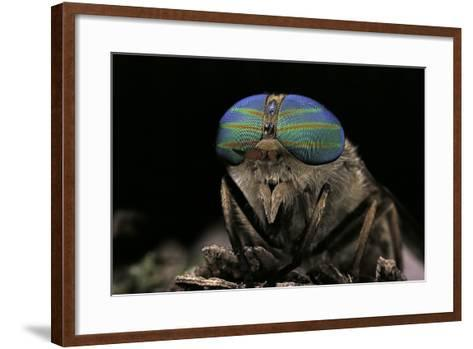 Tabanus Bromius (Small Horse Fly, Band-Eyed Brown Horsefly) - Portrait-Paul Starosta-Framed Art Print