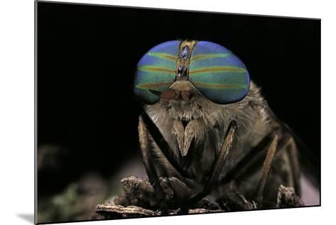 Tabanus Bromius (Small Horse Fly, Band-Eyed Brown Horsefly) - Portrait-Paul Starosta-Mounted Photographic Print