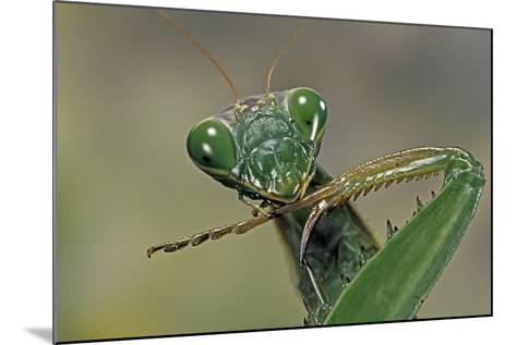 Mantis Religiosa (Praying Mantis) --Paul Starosta-Mounted Photographic Print