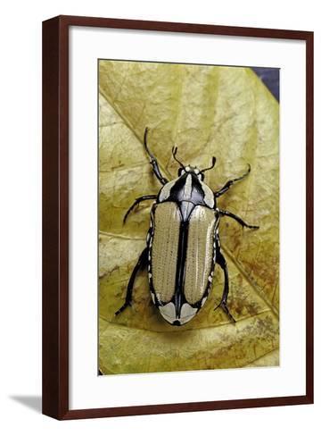 Gnathocera Bilineata (Flower Beetle)-Paul Starosta-Framed Art Print