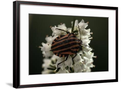 Graphosoma Lineatum (Striped Shield Bug )-Paul Starosta-Framed Art Print