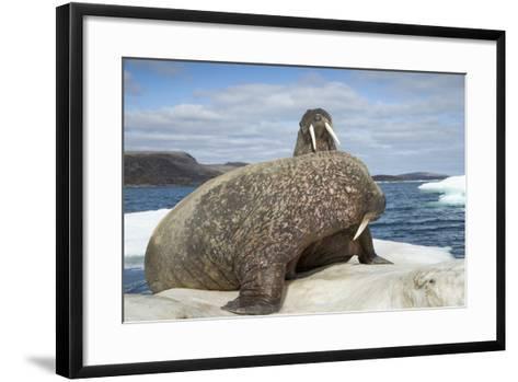 Walrus Resting on Ice in Hudson Bay, Nunavut, Canada-Paul Souders-Framed Art Print