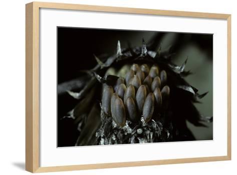 Melasoma Populi (Broad-Shouldered Leaf Beetle, Balsam Poplar Leaf Beetle) - Eggs-Paul Starosta-Framed Art Print
