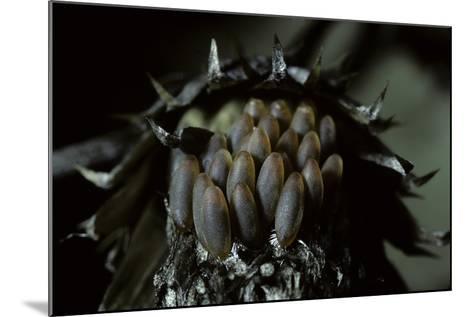 Melasoma Populi (Broad-Shouldered Leaf Beetle, Balsam Poplar Leaf Beetle) - Eggs-Paul Starosta-Mounted Photographic Print