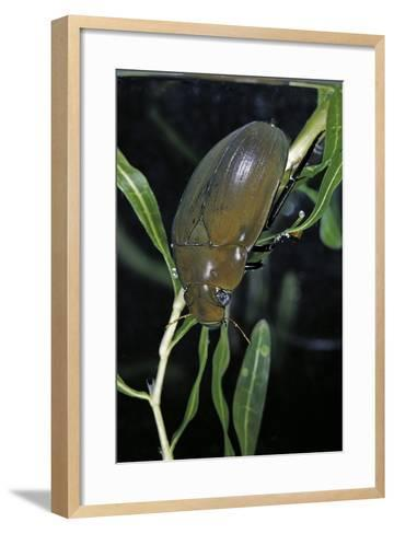 Hydrophilus Piceus (Great Silver Water Beetle)-Paul Starosta-Framed Art Print