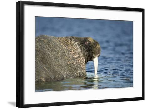 Walrus in Hudson Bay, Nunavut, Canada-Paul Souders-Framed Art Print