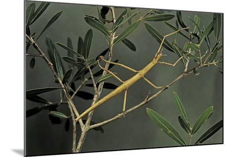 Clonopsis Gallica (French Stick Insect)-Paul Starosta-Mounted Photographic Print