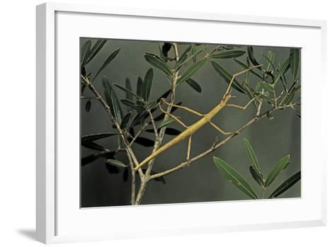 Clonopsis Gallica (French Stick Insect)-Paul Starosta-Framed Art Print