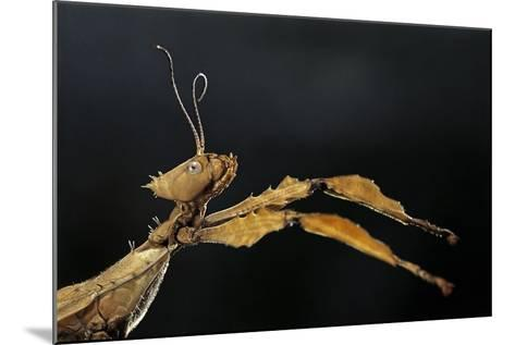 Extatosoma Tiaratum (Giant Prickly Stick Insect)-Paul Starosta-Mounted Photographic Print