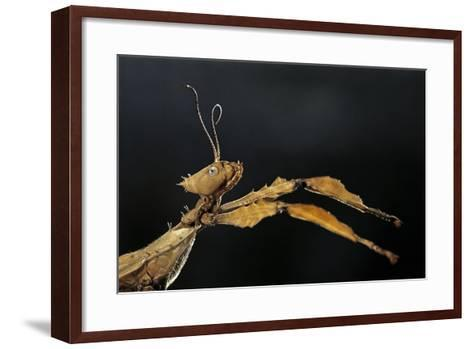 Extatosoma Tiaratum (Giant Prickly Stick Insect)-Paul Starosta-Framed Art Print