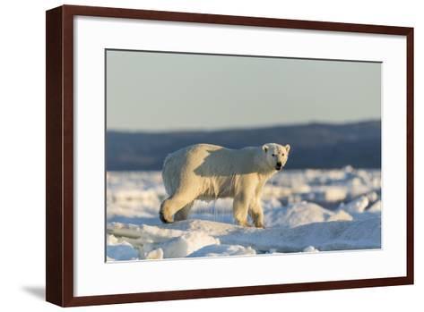 Polar Bear on Sea Ice, Hudson Bay, Nunavut, Canada-Paul Souders-Framed Art Print