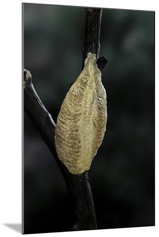 Mantis Religiosa (Praying Mantis) - Recently Laid Ootheca-Paul Starosta-Mounted Photographic Print