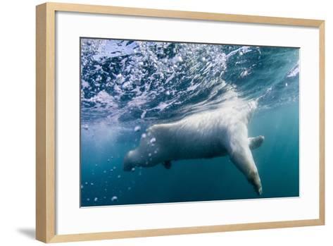 Underwater Polar Bear by Harbour Islands, Nunavut, Canada-Paul Souders-Framed Art Print
