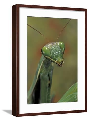 Mantis Religiosa (Praying Mantis) --Paul Starosta-Framed Art Print