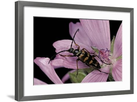 Leptura Aurulenta (Longhorn Beetle)-Paul Starosta-Framed Art Print
