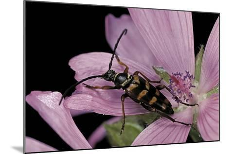 Leptura Aurulenta (Longhorn Beetle)-Paul Starosta-Mounted Photographic Print