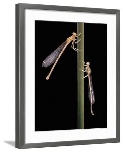 Platycnemis Pennipes (White-Legged Damselfly)-Paul Starosta-Framed Art Print