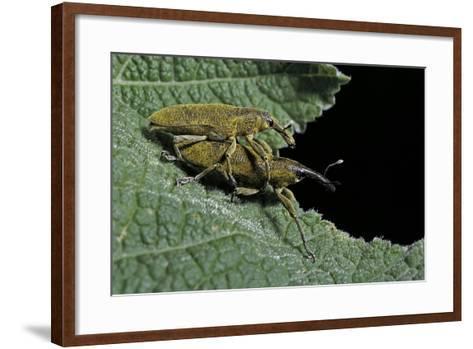 Lixus Algirus (Weevil) - Mating-Paul Starosta-Framed Art Print