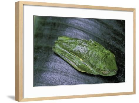Agalychnis Callidryas (Red-Eyed Treefrog)-Paul Starosta-Framed Art Print