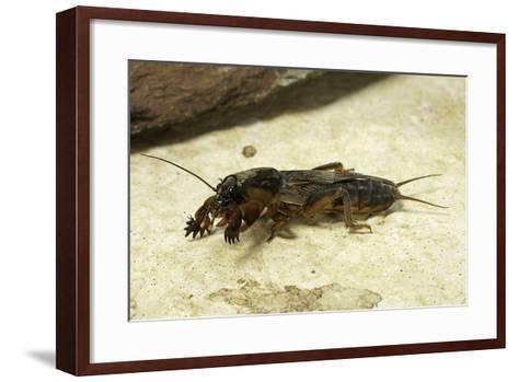 Gryllotalpa Gryllotalpa (European Mole Cricket)-Paul Starosta-Framed Art Print