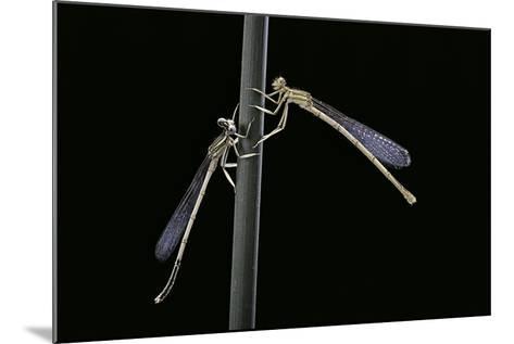 Platycnemis Pennipes (White-Legged Damselfly)-Paul Starosta-Mounted Photographic Print
