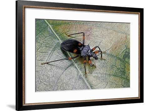 Platymeris Rhadamanthus (Red Spot Assassin Bug)-Paul Starosta-Framed Art Print