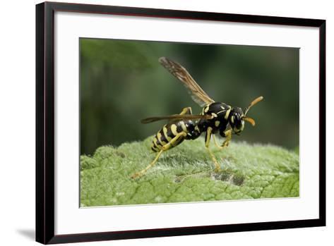 Polistes Dominula (European Paper Wasp)-Paul Starosta-Framed Art Print