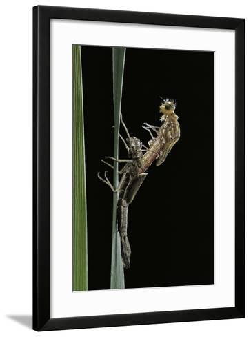 Pyrrhosoma Nymphula (Large Red Damselfly) - Emerging-Paul Starosta-Framed Art Print