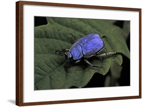 Hoplia Coerulea (Scarabaeid Beetle) - Male-Paul Starosta-Framed Art Print