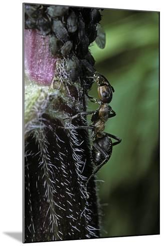 Formica Rufa (Red Wood Ant) - with Aphids-Paul Starosta-Mounted Photographic Print