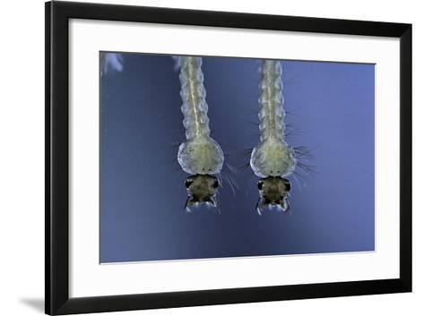 Culex Pipiens (Common House Mosquito) - Larvae-Paul Starosta-Framed Art Print