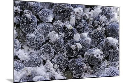 Dactylopius Coccus (Opuntia Cochineal Scale)-Paul Starosta-Mounted Photographic Print
