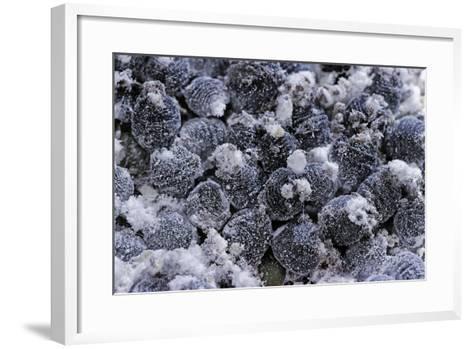 Dactylopius Coccus (Opuntia Cochineal Scale)-Paul Starosta-Framed Art Print