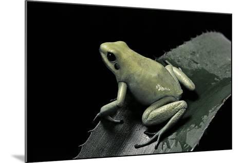 Phyllobates Terribilis F. Mint (Golden Poison Frog)-Paul Starosta-Mounted Photographic Print