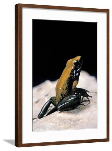 Phyllobates Bicolor (Black-Legged Dart Frog)-Paul Starosta-Framed Art Print