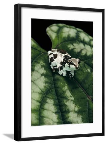 Phrynohyas Resinifictrix (Amazon Milk Frog) - Young-Paul Starosta-Framed Art Print