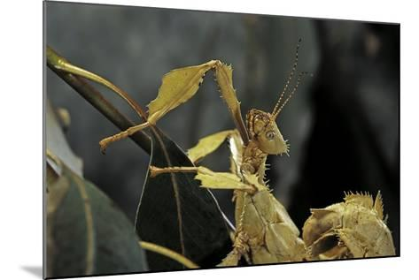 Extatosoma Tiaratum (Giant Prickly Stick Insect)-Paul Starosta-Mounted Photographic Print