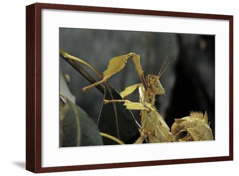 Extatosoma Tiaratum (Giant Prickly Stick Insect)-Paul Starosta-Framed Art Print