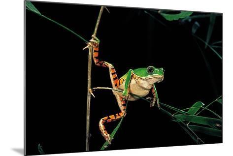 Phyllomedusa Hypochondrialis Azurea (Northern Orange-Legged Leaf Frog)-Paul Starosta-Mounted Photographic Print