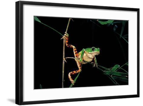Phyllomedusa Hypochondrialis Azurea (Northern Orange-Legged Leaf Frog)-Paul Starosta-Framed Art Print