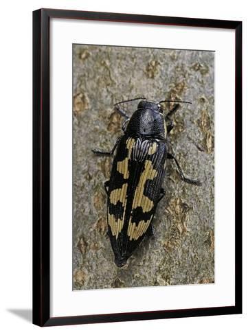 Buprestis Novemmaculata (Jewel Beetle)-Paul Starosta-Framed Art Print