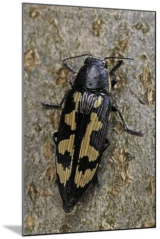 Buprestis Novemmaculata (Jewel Beetle)-Paul Starosta-Mounted Photographic Print