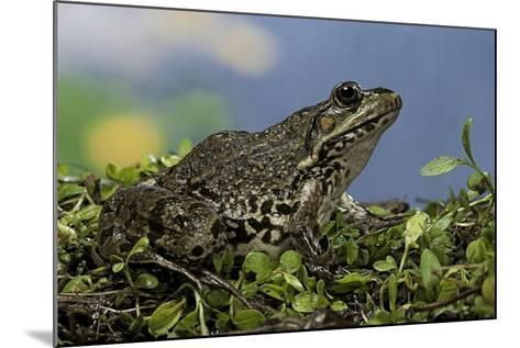 Edible Frog-Paul Starosta-Mounted Photographic Print