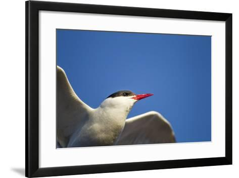 Arctic Tern, Hudson Bay, Canada-Paul Souders-Framed Art Print