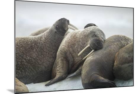 Walrus Herd on Iceberg, Hudson Bay, Nunavut, Canada-Paul Souders-Mounted Photographic Print